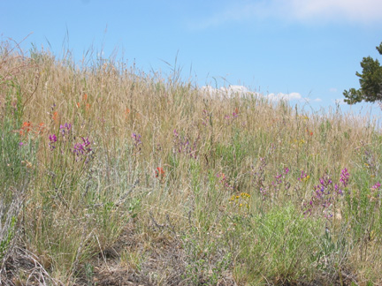 Hillside near the trailhead with Paintbrush and Locoweed