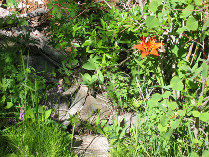 Wood Lily and Shooting Stars on the Cotton Creek trail