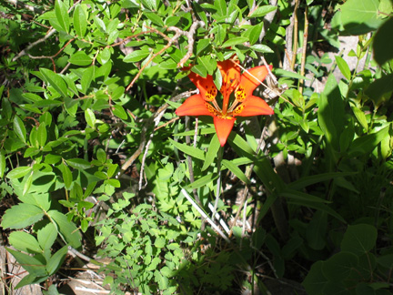 Another shot of the rare Colorado Wood Lily