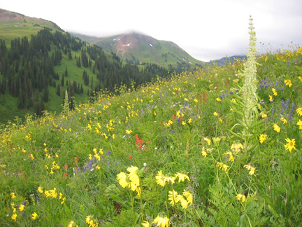 Wildflowers of the Maroon Bells