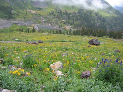Flowers on north side of Imogene Pass