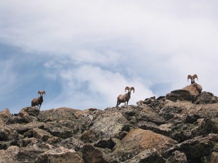 Bighorn sheep near Taylor Peak on the route to McHenry's Peak