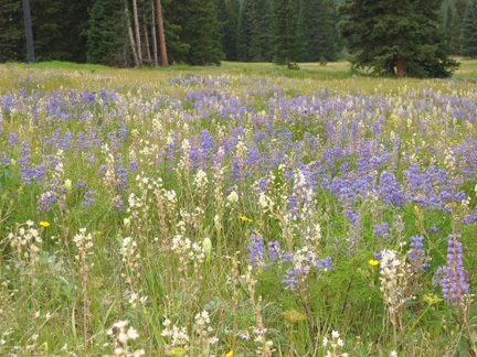 Blue Lupine and Death Camas